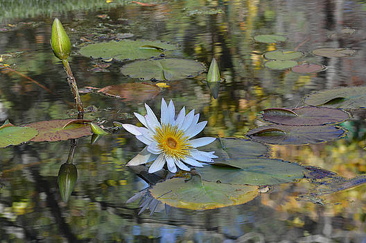 Waterlily by Linda Geiger