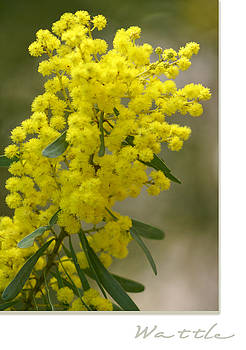 Holly Kempe - Wattle