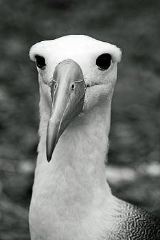 Waved Albatross by Sally Weigand