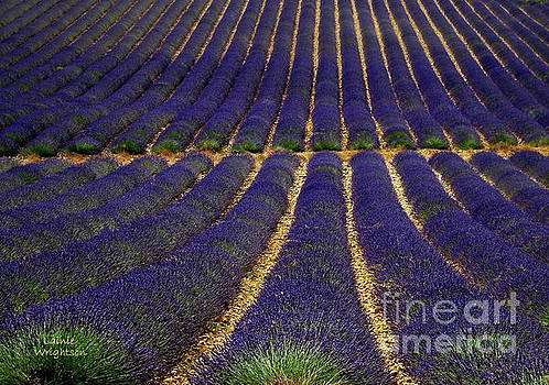 Waves of Lavender by Lainie Wrightson