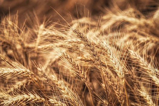 Scott Bean - Waves of Wheat