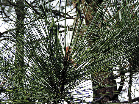 Wawona Pine Needles by Eric Forster