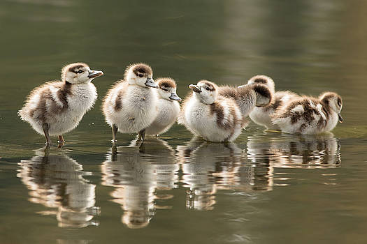 We Are Family - Seven Egytean Goslings in a Row by Roeselien Raimond