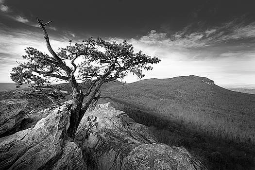 Weathered Pine by Greg Dollyhite