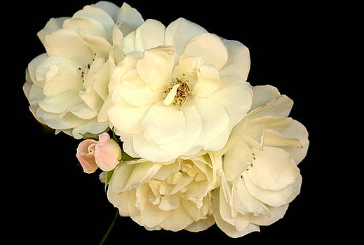 Rosanne Jordan - Wedding Rose Whites