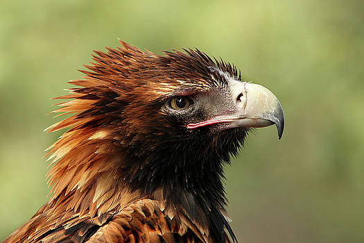 Wedge-tailed Eagle by Marion Cullen