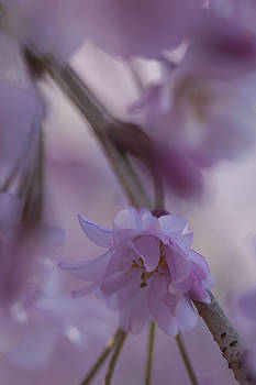 Weeping Cherry 2016 by Christina Durity