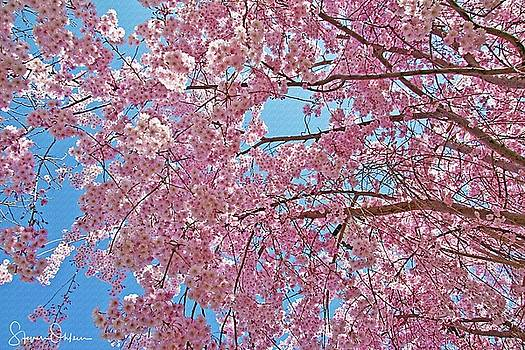Steve Ohlsen - Weeping Cherry Blossoms - Signed Limited Edition