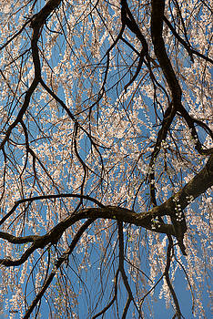 Weeping Cherry Limbs by Dana Sohr