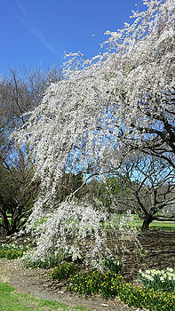 Weeping Cherry Starting to Bloom by Liza Eckardt
