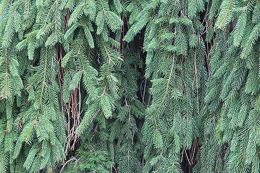Weeping Norway Spruce by Natalie Schorr