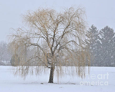 Weeping Willow In Snow by Kathy M Krause
