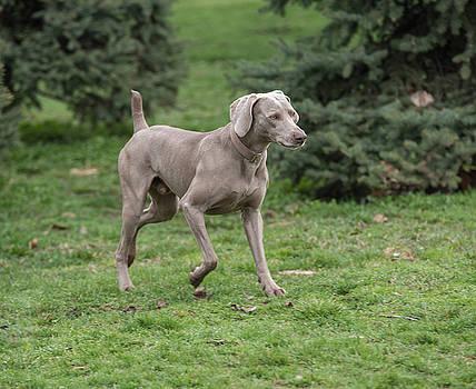 Weimaraner Dog running outside  by Julian Popov