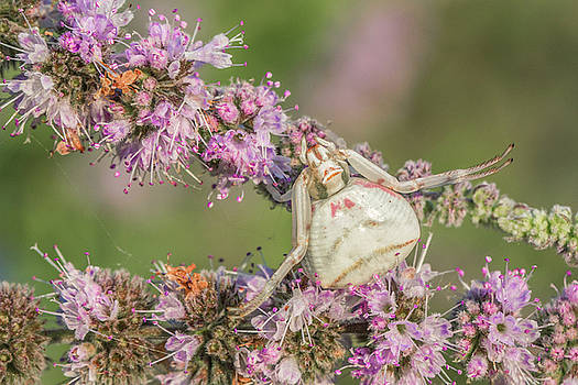 Well camouflaged crab spider - Thomisus onustus by Jivko Nakev