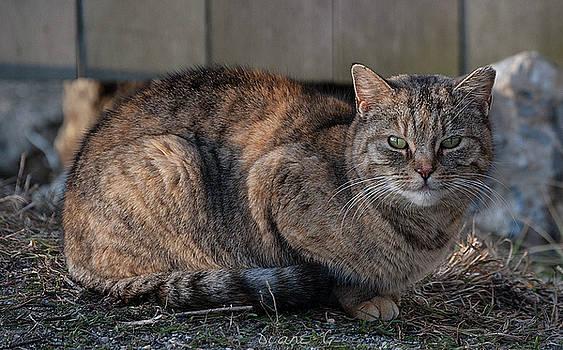 Well fed feral cat by Diane Giurco
