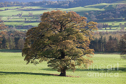 Wensley Park oak by Gavin Dronfield