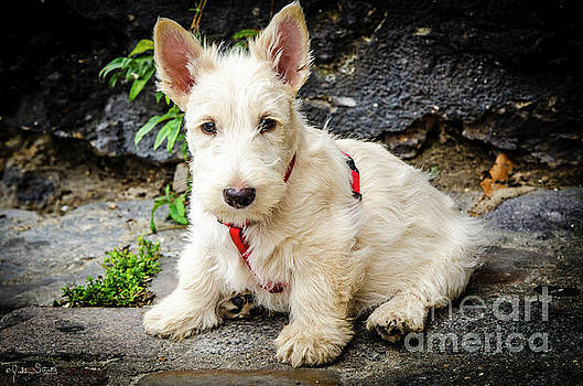 Julian Starks - West Highland White Terrier #1