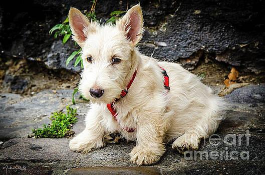 Julian Starks - West Highland White Terrier #2