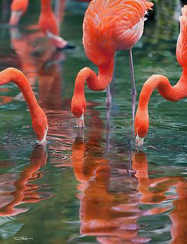 West Indian Flamingo by Tim Fitzharris