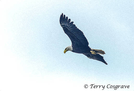 West Point american eagle. by Terry Cosgrave