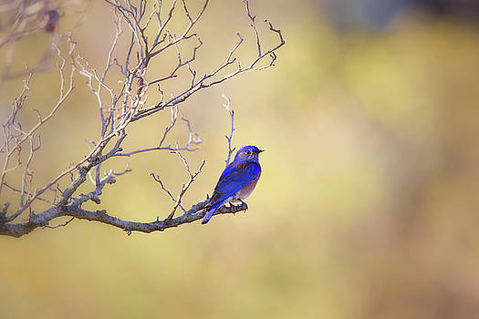 Western Bluebird on Bare Branch by Susan Gary