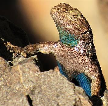 Western Fence Lizard by Joshua Bales