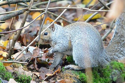 Western Grey Squirrel  by Nicki Bennett