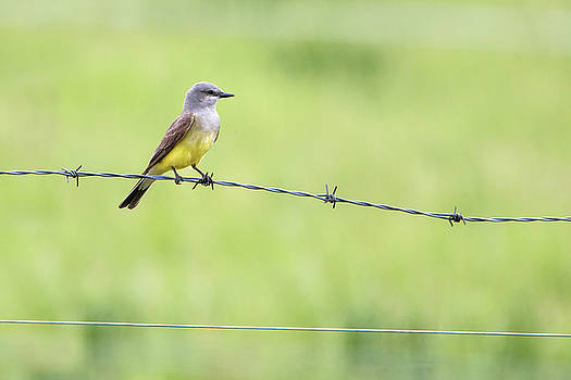 Western Kingbird by Celine Pollard