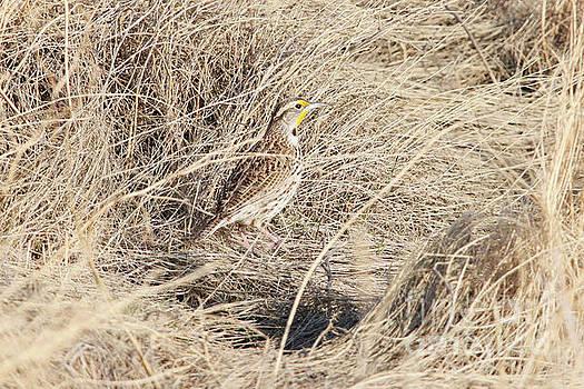 Western Meadowlark by Alyce Taylor