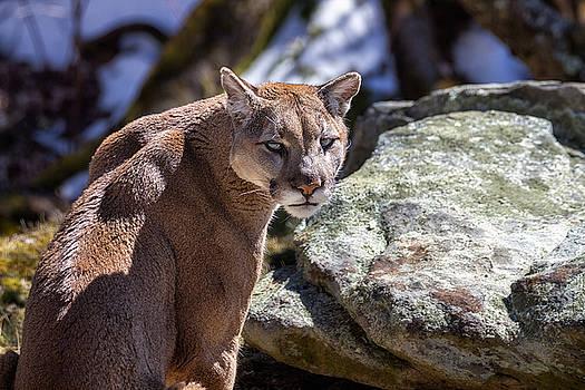 Western North Carolina - Grandfather Mountain Cougar  by Jason Penland