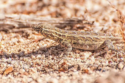 Western Side-blotched Lizard by Rich Leighton