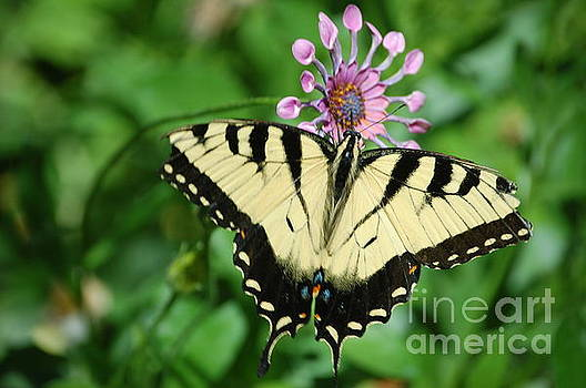 Western Tiger Swallowtail by Frank Stallone