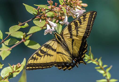 Randy Straka - Western Tiger Swallowtail