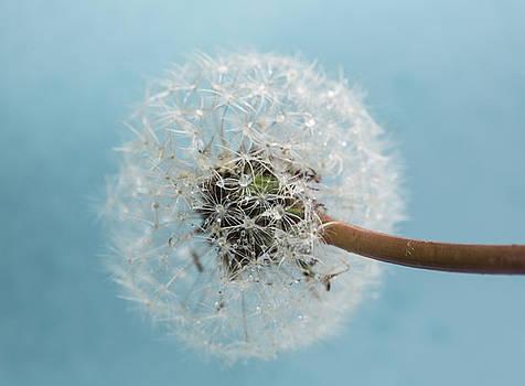 Wet Dandelion on Blue by Iris Richardson