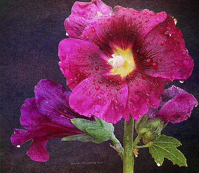 Wet Hollyhock Blooms by R christopher Vest