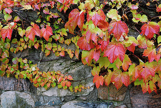 Reimar Gaertner - Wet red ivy leaves clinging to a stone wall