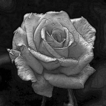Wet Rose by Maciek Froncisz