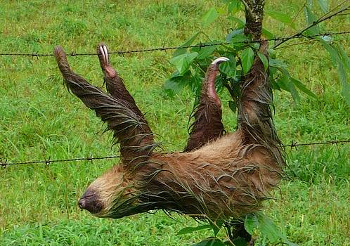 Wet Sloth by James Parker