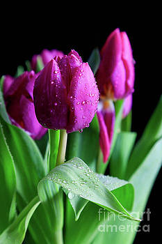 Wet Tulips by Tracy Hall