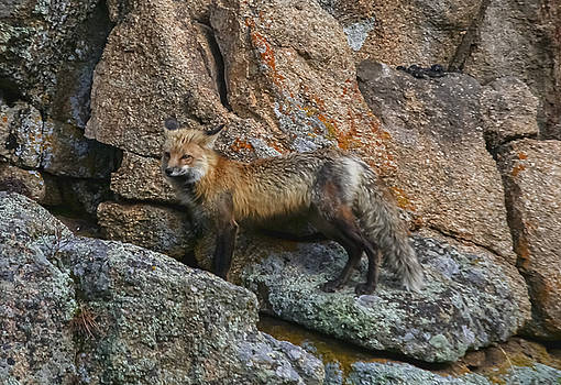 Wet Vixen on the Rocks by Perspective Imagery