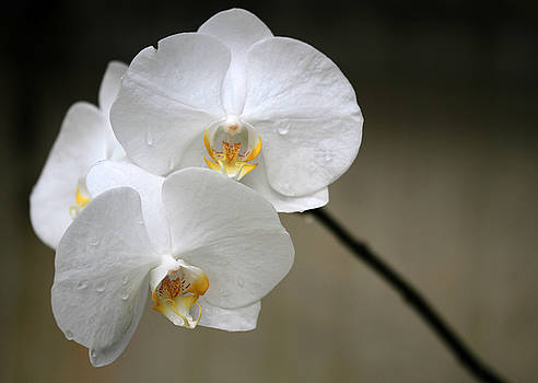 Sabrina L Ryan - Wet White Orchids