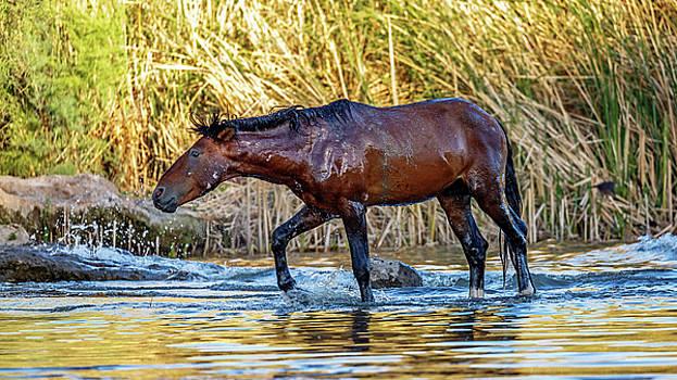 Wet Wild Horse Walking in Salt River by Susan Schmitz