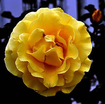 Clayton Bruster - Wet Yellow Rose