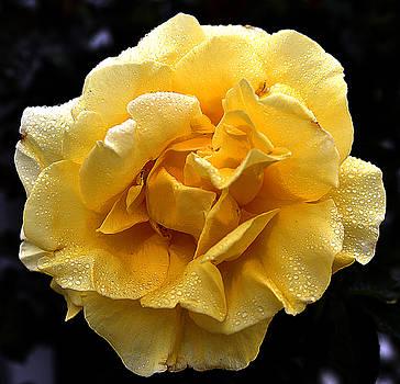Clayton Bruster - Wet Yellow Rose II