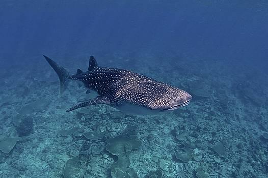 Sandro Lonardi - Whale Sharks in the Maldives