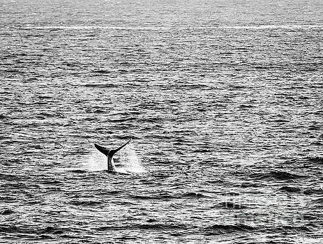 Tim Hester - Whale Tail in Ocean Black And White