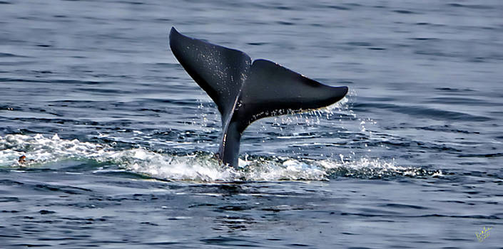 Whale Tale Tail by Rick Lawler