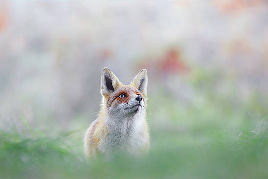 What Does the Fox Think? - Red Fox by Roeselien Raimond