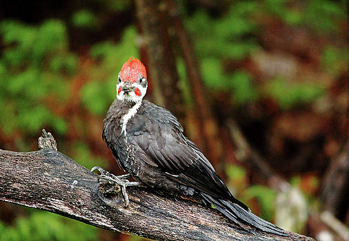 What Sounds Like A Jackhammer In The Woods - Pileated Woodpecker by Debbie Oppermann
