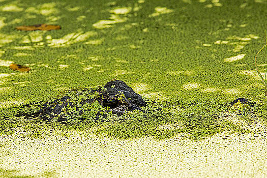 What's Under the Duckweed in the Pond by Natural Focal Point Photography
